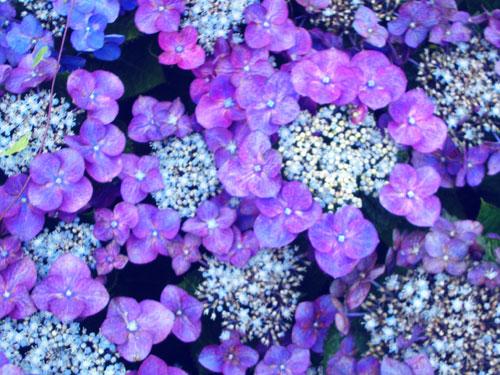20050708ajisai01.jpg